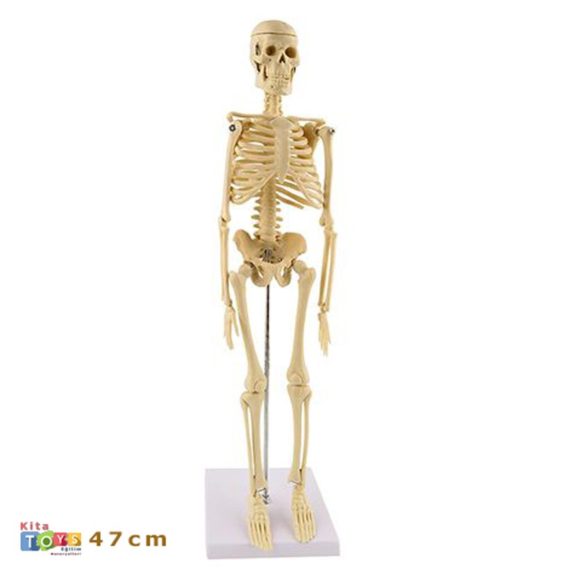 Iskelet Sistemi Fen Ve Doga Kosesi Maketi 46 Cm 15 Yillik Hizmet