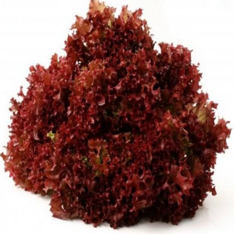 Marul Kıvırcık Kırmızı ile ilgili görsel sonucu