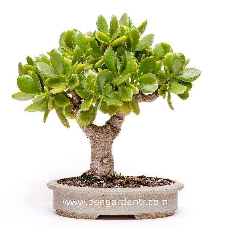 crassula ovata money plant jade plant para a ac ans. Black Bedroom Furniture Sets. Home Design Ideas