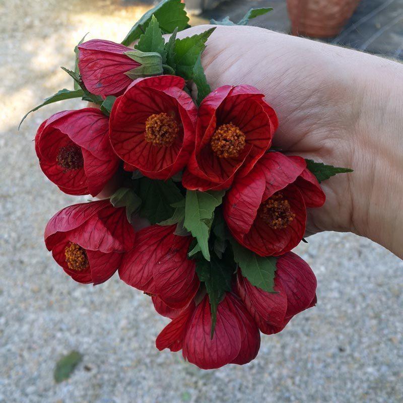 Kırmızı Ağaç Abutilon Yıl Boyu çiçek Açan Bitki Satın Al 2490 Tl