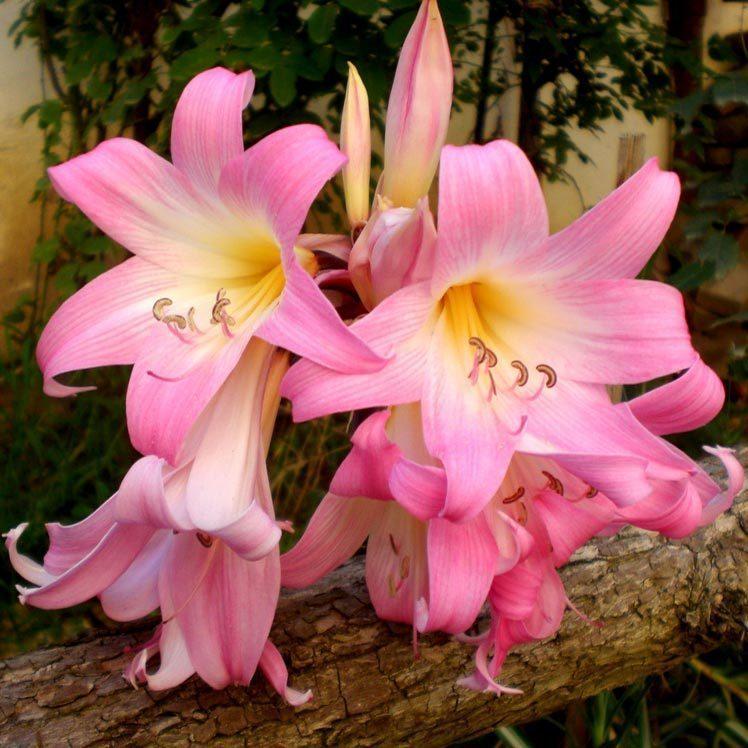 Kokulu amarallis belladona so an 29 41 tl for Amaryllis belladonna vente